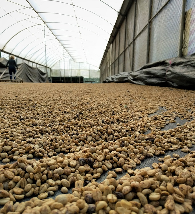 drying coffee beans in greenhouses