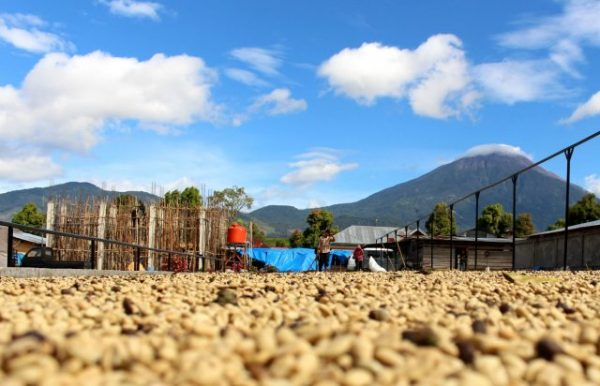 beans drying in kerinci
